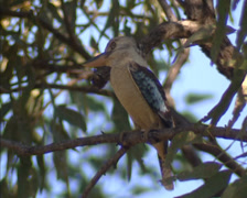 Blue-winged kookaburra (Dacelo leachii) perched in gum tree - close up. Stock Footage