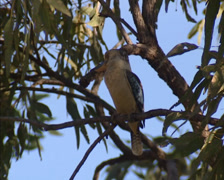 Blue-winged kookaburra perched - turns around + puffed-up plumage - stock footage