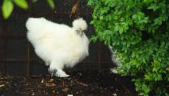 Chickens Eating - stock footage