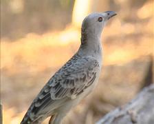 Great Bowerbird (chlamydera nuchalis) hops on branch, turns around - on camera Stock Footage