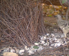 Great Bowerbird (chlamydera nuchalis) hops into his bower with a twig - close up Stock Footage