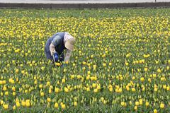 farmer picking up yellow tulip flowers in the farm - stock photo