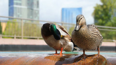 City Fountain Ducks Stock Footage