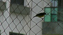 1. Bananaquit Perches and Sings Stock Footage