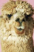 Closeup Of Alpaca On Pink Background - stock photo