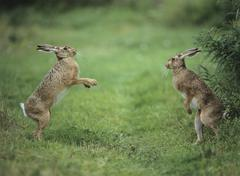 Two aggressive hares - stock photo