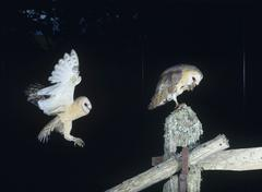 Barn owls perching on fence post - stock photo