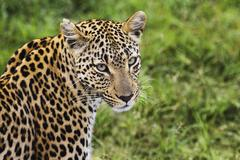 Close-up of leopard (Panthera pardus) looking at camera - stock photo