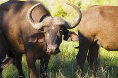 African buffaloes (Syncerus caffer) standing in field close-up Stock Photos