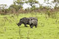 Stock Photo of Rhinoceroses in savanna