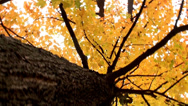 Stock Video Footage of Tree with golden leaves
