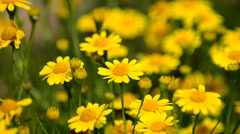 Yellow Daisy Stock Footage