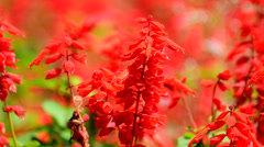 Red salvia splendens Stock Footage
