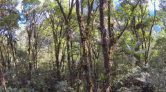 Descending through the canopy of montane rainforest over the crown of a palm  Stock Footage