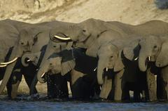 African Elephants (Loxodonta Africana) at waterhole - stock photo