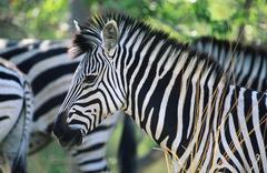 Plains Zebra (Equus Burchelli) close-up - stock photo