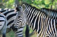 Plains Zebra (Equus Burchelli) close-up Stock Photos