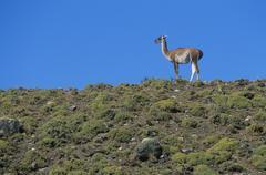 Stock Photo of Llama standing on hillside