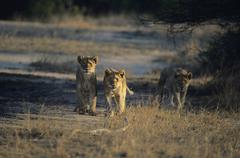 Three Lions metsästys savanni Kuvituskuvat