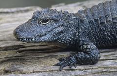 Alligator close-up Stock Photos