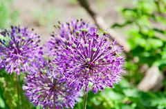 Allium Stock Photos