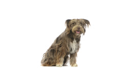 Crossbreed dog sitting, looking around, then leaves Stock Footage