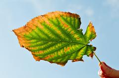 Ragged autumn leaf Stock Photos