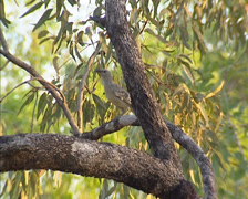 Great Bowerbird (chlamydera nuchalis) on branch, preening Stock Footage