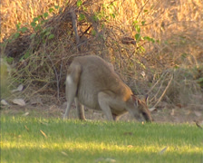 Agile wallaby (Macropus agilis) grazing, foraging - stock footage