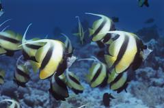 School of Angelfish on reef - stock photo