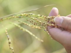 Closeup Of Hand With Stalk Of Grains Outdoors Stock Photos