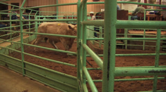 Charolais bull in sale pen Stock Footage