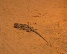 Painted dragon (ctenoporus pictus) reptile in red desert landscape. Stock Footage