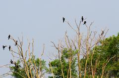 Black vultures and crows in the uninhabited island Stock Photos