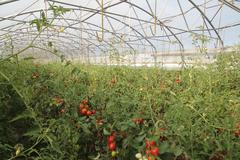 greenhouse for the cultivation of cluster tomatoes and plum tomato type in it - stock photo