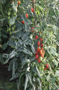 greenhouse for the intensive cultivation of cluster tomatoes and plum tomato - stock photo