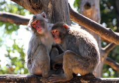 japanese macaque mother and daughter look lost in empty - stock photo