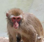 Syvällistä ja merkityksellistä ulkoasua makakiapinaa Kuvituskuvat