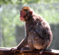 japanese macaque clung to the branch of a tree in savanna - stock photo