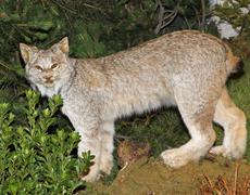 mountain lynx with look of defiance in the woods - stock photo