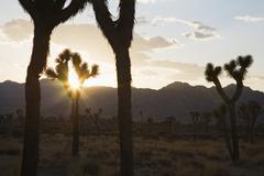 Silouette of Joshua trees in desert at sunset - stock photo