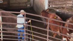 Cattle penned into sale barn 1 Stock Footage