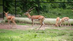 Stock Video Footage of Blackbuck Deer
