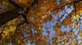 Autumn trees. Footage
