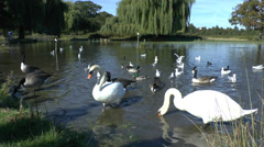 Pond scene, Bushy Park, London - stock footage