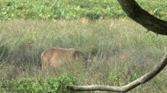 Large male red deer in Bushy Park, London - stock footage
