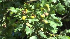 Green acorns onan oak tree, Bushy Park, London Stock Footage