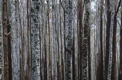 Trunks of Eucalypt Mountain Ash trees - stock photo