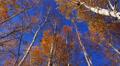 Autumn trees. HD Footage