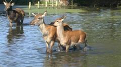 Red deer, Bushy Park, London Stock Footage
